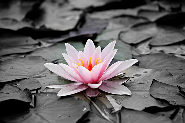 img-lotus-flower