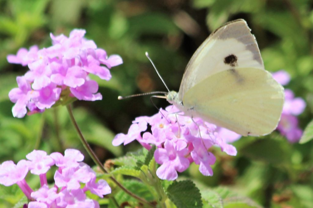 Butterfly white on flower